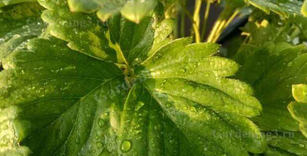 клубника подкормка осенью